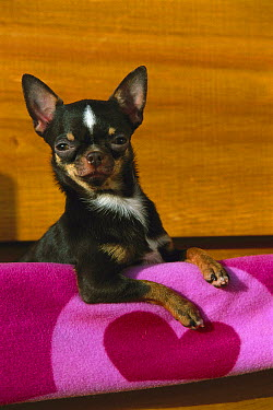 Chihuahua (Canis familiaris) portrait  -  Mark Raycroft