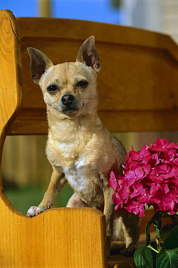 Chihuahua (Canis familiaris) portrait on bench  -  Mark Raycroft
