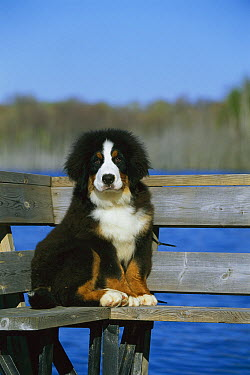 Bernese Mountain Dog (Canis familiaris) puppy sitting on bench  -  Mark Raycroft