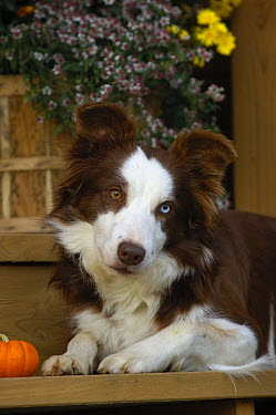 Border Collie (Canis familiaris) with one blue and one brown eye  -  Mark Raycroft