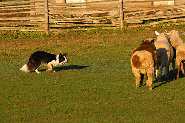 Border Collie (Canis familiaris) herding sheep  -  Mark Raycroft