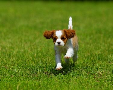 Cavalier King Charles Spaniel (Canis familiaris) puppy running  -  Mark Raycroft
