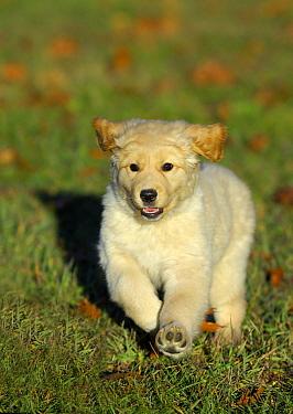 Golden Retriever (Canis familiaris) puppy running  -  Mark Raycroft