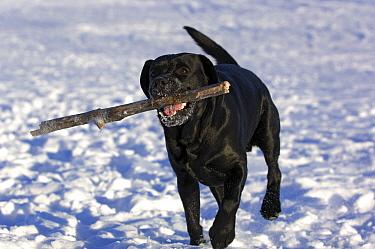 Labrador Retriever (Canis familiaris) retrieving stick in snow  -  Mark Raycroft