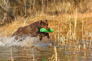 Labrador Retriever (Canis familiaris) retrieving marker  -  Mark Raycroft
