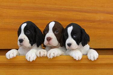 English Springer Spaniel (Canis familiaris) puppies  -  Mark Raycroft