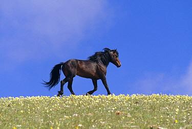Mustang (Equus caballus) stallion running, summer, Pryor Mountain Wild Horse Range, Montana  -  Yva Momatiuk & John Eastcott