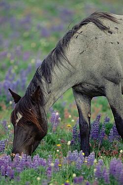 Mustang (Equus caballus) blue-roan mare grazes in alpine meadow in the summer, Montana  -  Yva Momatiuk & John Eastcott