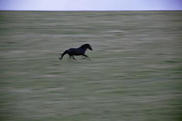 Mustang (Equus caballus) stallion running, Pryor Mountain Wild Horse Range, Montana  -  Yva Momatiuk & John Eastcott