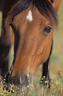 Mustang (Equus caballus) young mare grazing, Montana