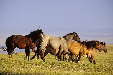 Mustang (Equus caballus) family band forms solid unit during summer breeding season, Pryor Mountain Wild Horse Range, Montana  -  Yva Momatiuk & John Eastcott