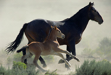 Mustang (Equus caballus) mare and her foal flee danger in cloud of dust in the summer season, Wyoming  -  Yva Momatiuk & John Eastcott