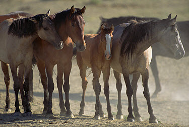 Mustang (Equus caballus) family waits while dominant stallions drink first from waterhole, Wyoming  -  Yva Momatiuk & John Eastcott