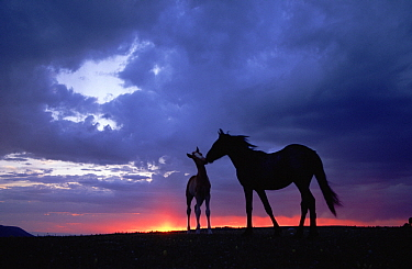 Mustang (Equus caballus) mare and foal silhouetted against evening sky during summer, Montana