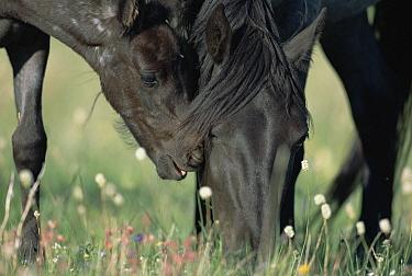 Mustang (Equus caballus) mare and her foal interacting and grazing on summer range, Wyoming  -  Yva Momatiuk & John Eastcott
