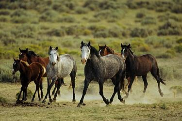 Mustang (Equus caballus) family band trotting together on summer range, Wyoming  -  Yva Momatiuk & John Eastcott