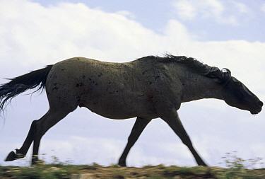 Mustang (Equus caballus) stallion chasing away intruder in winter, Wyoming  -  Yva Momatiuk & John Eastcott