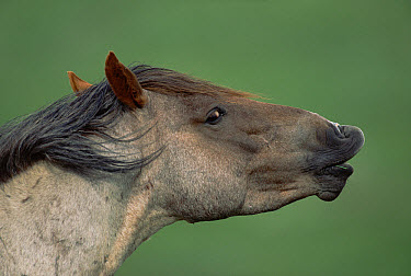 Mustang (Equus caballus) portrait of a stallion analyzing interesting smell, possibly a mare in estrus, Montana  -  Yva Momatiuk & John Eastcott