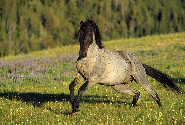 Mustang (Equus caballus) stallion charging to chase away intruder in summer, Montana  -  Yva Momatiuk & John Eastcott