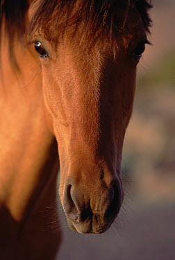 Mustang (Equus caballus) close-up portrait of a young, curious mare in the morning light, Montana  -  Yva Momatiuk & John Eastcott