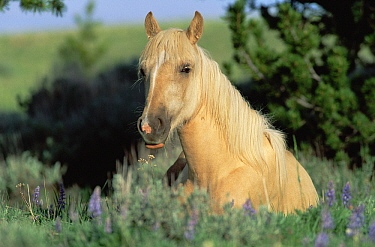 Mustang (Equus caballus) young palomino filly resting in summer grass, Pryor Mountain Wild Horse Range, Montana