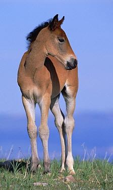 Mustang (Equus caballus) portrait of spring foal in open range, Pryor Mountain Wild Horse Range, Montana  -  Yva Momatiuk & John Eastcott