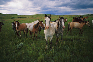 Spanish Mustang (Equus caballus) young bachelor studs interact and graze together, northern Wyoming  -  Yva Momatiuk & John Eastcott