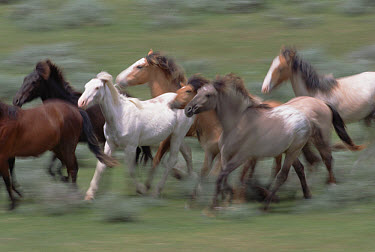Mustang (Equus caballus) young stud colts, members of bachelor band, graze, play and fight together near Oshoto, northern Wyoming  -  Yva Momatiuk & John Eastcott