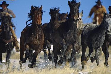 Mustang (Equus caballus) group running, Bureau of Land Management wranglers round up surplus horses for adoption, Wyoming  -  Yva Momatiuk & John Eastcott