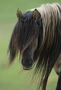 Mustang (Equus caballus) stallion with long mane, Oshoto, northern Wyoming