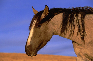 Mustang (Equus caballus) stallion in early evening light, northern Wyoming