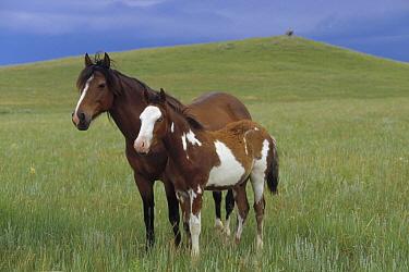 Mustang (Equus caballus) mare and paint foal, evening light, summer season, Wyoming  -  Yva Momatiuk & John Eastcott