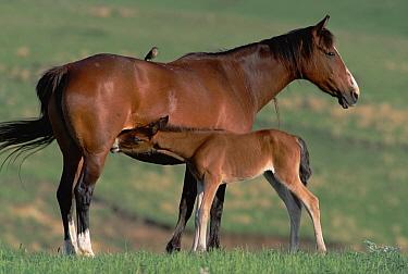 Mustang (Equus caballus) mare nursing her foal, spring, northern Wyoming  -  Yva Momatiuk & John Eastcott