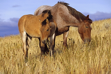 Mustang (Equus caballus) mare and her spring foal grazing on open range, northern Wyoming