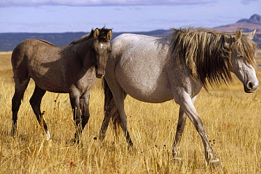 Mustang (Equus caballus) mare and her spring foal in open range, autumn, northern Wyoming  -  Yva Momatiuk & John Eastcott