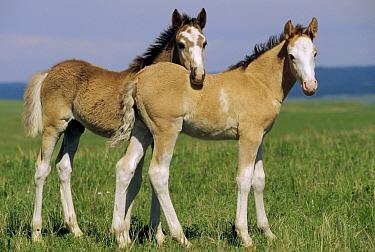 Mustang (Equus caballus) pair of spring foals, Wyoming  -  Yva Momatiuk & John Eastcott
