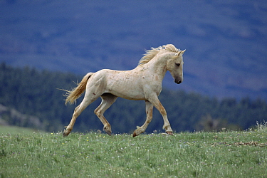 Mustang (Equus caballus) bachelor palomino stallion prancing along ridge on summer range, Pryor Mountain Wild Horse Range, Montana