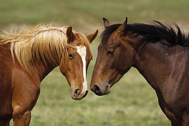 Mustang (Equus caballus) young bachelor stallions sniffing each other, Pryor Mountain Wild Horse Range, Montana