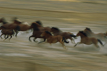 Mustang (Equus caballus) family band running together in desert, Fifteen Mile Herd Management Area, central Wyoming  -  Yva Momatiuk & John Eastcott