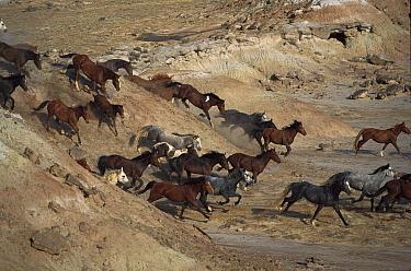 Mustang (Equus caballus) family band running down rocky slope in desert, Fifteen Mile Herd Management Area, central Wyoming  -  Yva Momatiuk & John Eastcott