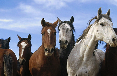 Mustang (Equus caballus) frightened horses bunch up together, Fifteen Mile Herd Management Area, central Wyoming