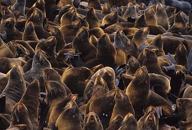 Northern Fur Seal (Callorhinus ursinus) mass of breeding females sleep and pant close together to dissipate heat on warm day, St Paul Island, Pribilof Islands, Alaska  -  Yva Momatiuk & John Eastcott