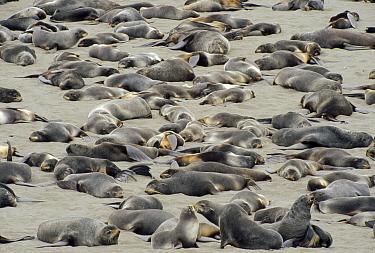 Northern Fur Seal (Callorhinus ursinus) sub-adult and non-territorial bulls resting on haul out beach in summer, St Paul Island, Pribilof Islands, Alaska  -  Yva Momatiuk & John Eastcott
