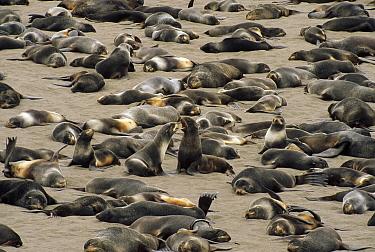 Northern Fur Seal (Callorhinus ursinus) non-territorial bulls and sub-adult males congregate on haul out beach, St Paul Island, Pribilof Islands, Alaska  -  Yva Momatiuk & John Eastcott