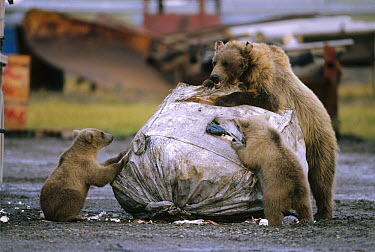 Grizzly Bear (Ursus arctos horribilis) sow and two cubs feeding at garbage dump, Deadhorse, North Slope, Alaska  -  Yva Momatiuk & John Eastcott