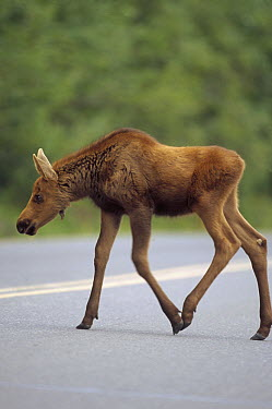 Alaska Moose (Alces alces gigas) calf crossing road in summer, Denali National Park and Preserve, Alaska  -  Yva Momatiuk & John Eastcott