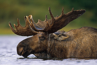 Alaska Moose (Alces alces gigas) bull with water dripping from antlers after feeding in glacial kettle pond, Denali National Park and Preserve, Alaska