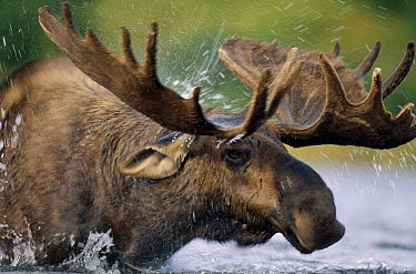 Alaska Moose (Alces alces gigas) shakes water from head and antlers after feeding in glacial kettle pond, Denali National Park and Preserve, Alaska  -  Yva Momatiuk & John Eastcott