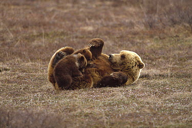 Grizzly Bear (Ursus arctos horribilis) sow lying on her back nursing her two spring cubs, Denali National Park and Preserve, Alaska  -  Yva Momatiuk & John Eastcott
