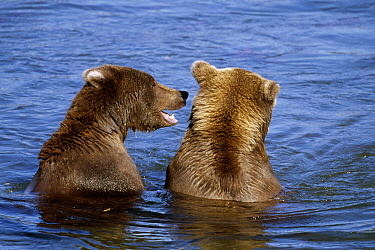 Grizzly Bear (Ursus arctos horribilis) pair of young males fighting, Katmai National Park, Alaska